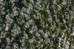 Mech i liszaju tekstura na dębowej drzewnej barkentynie Organicznie abstrakcjonistyczny tło dla projekta i tekstura Zbliżenie wid Zdjęcia Royalty Free
