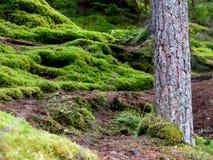 Mech las w Szkocja Zdjęcia Stock