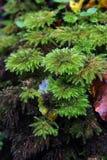 mech lasowy deszcz Fotografia Stock