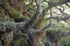Mech, liszaj i epiphyte, zakrywaliśmy antycznego drzewa zdjęcia royalty free