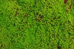 Mech Moises zieleni Mokra ekologia zdjęcia stock