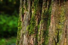 Mech na drzewnego bagażnika zbliżeniu Fotografia Royalty Free
