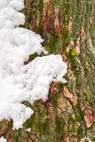 Mech na drzewnym bagażniku pod śniegiem, tło wizerunek Zamarznięty liszaj z gałąź w lesie obrazy royalty free