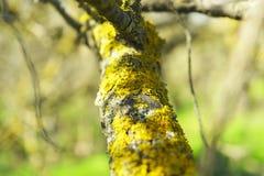 Mech na drzewnym bagażniku, tło wizerunek Liszaj z gałąź w lesie fotografia stock