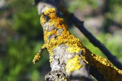 Mech na drzewnym bagażniku, tło wizerunek Liszaj z gałąź w lesie zdjęcia stock