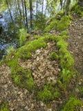 Mech na lasowej podłoga w lesie Obrazy Stock