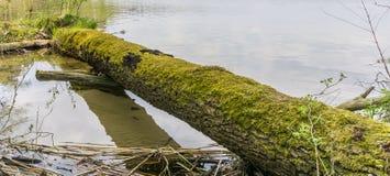 Mech na spadać drzewnym bagażniku na jeziornym brzeg Fotografia Stock