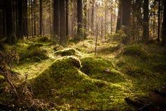 Mech porośle w iglastym lesie obraz stock