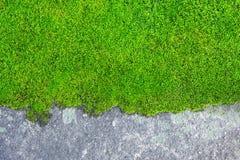 Mech roślina na betonowej teksturze obrazy royalty free
