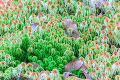 Mech torfowa sp, wildflower w tropikalnym lesie deszczowym przy Doi Inthanon parkiem narodowym w Chiang Mai, Tajlandia Obrazy Stock