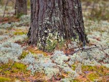 Mech w Północnym lesie sosnowy bagażnik przerastają z mech zdjęcia stock