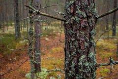 Mech w Północnym lesie sosnowy bagażnik przerastają z mech fotografia stock