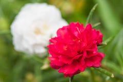 Mech wzrastał kwiaty Zdjęcia Royalty Free