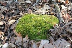 Mech zakrywająca skała na lasowej podłoga Obrazy Stock