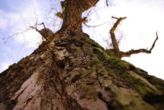 Drzewna barkentyna Obraz Stock