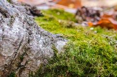 Mech zakrywający drzewo korzeń zdjęcia stock