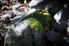 mech zakrywający kamień Piękny mech i liszaj zakrywający kamień Jaskrawy - zielony mech tło textured w naturze Naturalny mech dal zdjęcia stock