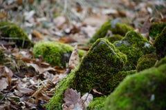 mech zakrywający kamień Piękny mech i liszaj zakrywający kamień Jaskrawy - zielony mech tło textured w naturze Naturalny mech na  zdjęcia stock