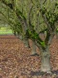 Mech zakrywający drzewa w sadzie Zdjęcie Stock