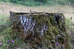 Mech Zakrywający Drzewny fiszorek i osety w polu Fotografia Royalty Free