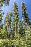 Mech zakrywający gigantyczni drzewa Fotografia Stock