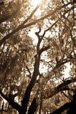 Mech zakrywający OakTree Zdjęcia Royalty Free
