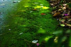 Mech zieleni tekstura Mech tło Zielony mech na grunge textur zdjęcie royalty free