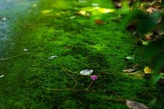 Mech zieleni tekstura Mech tło Zielony mech na grunge textur obrazy royalty free