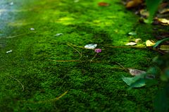 Mech zieleni tekstura Mech tło Zielony mech na grunge textur obraz royalty free
