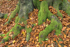 Mechaci buków korzenie Obraz Royalty Free