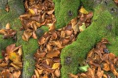 Mechaci buków korzenie Fotografia Royalty Free