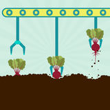 Mechanical harvesting beetroot Stock Images