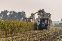 Mechanical harvesting of maize plants. Backlit image of mechanical harvesting of organic cultivated fodder maize plants at the end of a sunny day in the Stock Photos