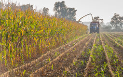Mechanical harvesting of maize plants. Mechanical harvesting of organic cultivated fodder maize plants at the end of a sunny day in the beginning of the autumn Stock Photo