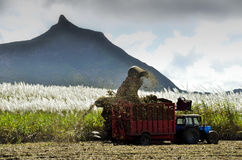 Mechanical harvesting of sugar cane - Mauritius Royalty Free Stock Photography