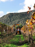 Mechanical pruning of plants in a vineyard Stock Image