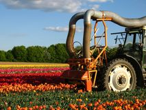 Mechanically harvest from tulips. On a field Stock Photography