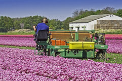Mechanically topping tulips flowers Stock Photo
