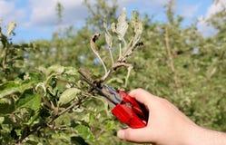 Mechanische verwijdering van appelbladeren besmet die en door de poederachtige schimmel van de paddestoelziekte worden beschadigd royalty-vrije stock fotografie