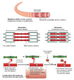 Mechanism of muscle contraction. Detail of a muscle sarcomere showing thin and thick filaments and mechanism of mechanical contraction Royalty Free Stock Images