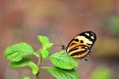 Mechanitis butterfly Stock Image