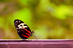 Mechanitis butterfly in Florida aviary Royalty Free Stock Images