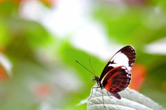 Mechanitis butterfly, Florida Royalty Free Stock Photo