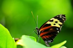 Mechanitis butterfly Stock Photos