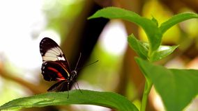 Mechanitis butterfly on green leaf, Florida Royalty Free Stock Image