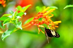 Mechanitis butterfly holding onto yellow flowers Stock Photos