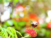 Mechanitis butterfly on Jatropha gossypiifolia Royalty Free Stock Photography