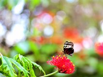 Mechanitis butterfly on Jatropha gossypiifolia Royalty Free Stock Images