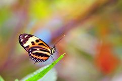 Mechanitis butterfly on leaf Royalty Free Stock Photography