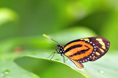 Mechanitis butterfly on leaf Royalty Free Stock Image